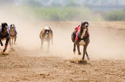 Greyhound Racing Flapping