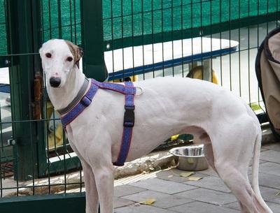 Greyhound in Kennel