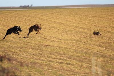 Greyhound Chasing Hare
