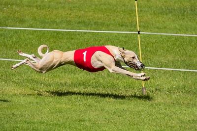 Greyhound Speed